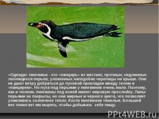 «Одежда» пингвина - это «панцирь» из жестких, прочных, недлинных лоснящихся перь