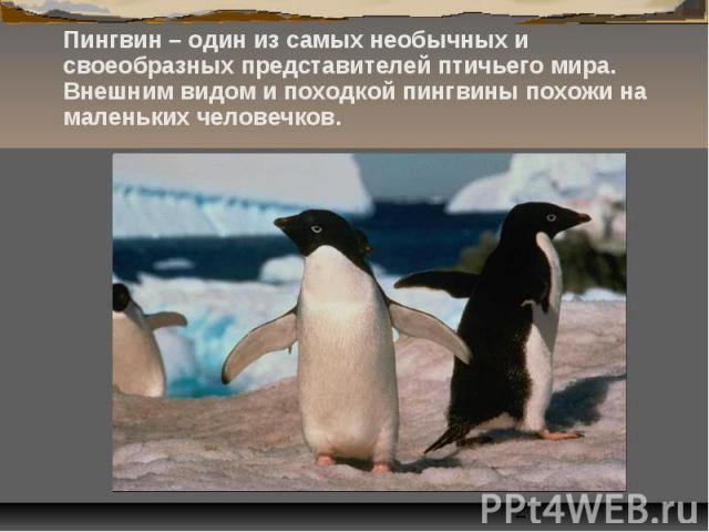 Пингвин – один из самых необычных и своеобразных представителей птичьего мира. Внешним видом и походкой пингвины похожи на маленьких человечков. Пингвин – один из самых необычных и своеобразных представителей птичьего мира. Внешним видом и походкой …