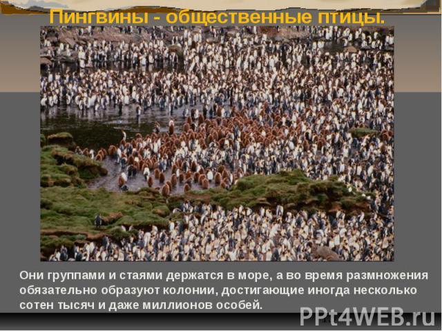 Пингвины - общественные птицы. Они группами и стаями держатся в море, а во время размножения обязательно образуют колонии, достигающие иногда несколько сотен тысяч и даже миллионов особей.