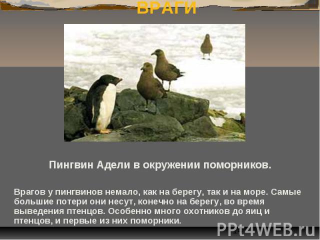 ВРАГИ Пингвин Адели в окружении поморников. Врагов у пингвинов немало, как на берегу, так и на море. Самые большие потери они несут, конечно на берегу, во время выведения птенцов. Особенно много охотников до яиц и птенцов, и первые из них поморники.