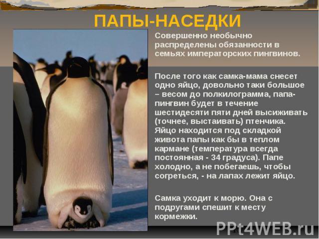 ПАПЫ-НАСЕДКИ Совершенно необычно распределены обязанности в семьях императорских пингвинов. После того как самка-мама снесет одно яйцо, довольно таки большое – весом до полкилограмма, папа-пингвин будет в течение шестидесяти пяти дней высиживать (то…
