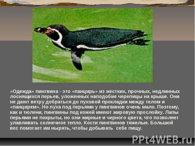 «Одежда» пингвина - это «панцирь» из жестких, прочных, недлинных лоснящихся перьев, уложенных наподобие черепицы на крыше. Они не дают ветру добраться до пуховой прокладки между телом и «панцирем». Но пуха под перьями у пингвинов очень мало. Поэтому…