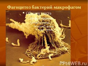 Фагоцитоз бактерий макрофагом