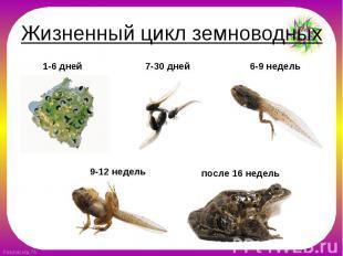 Жизненный цикл земноводных