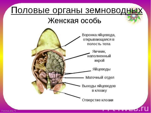 Половые органы земноводных