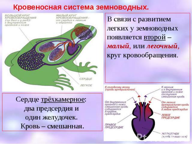Кровеносная система земноводных. В связи с развитием легких у земноводных появляется второй – малый, или легочный, круг кровообращения.