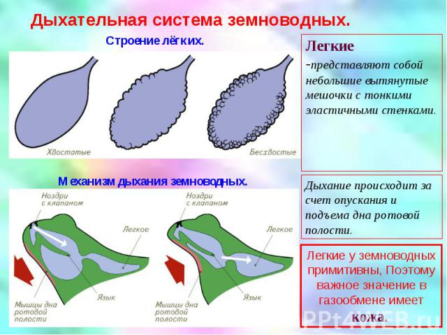 Дыхательная система земноводных. Легкие -представляют собой небольшие вытянутые мешочки с тонкими эластичными стенками.