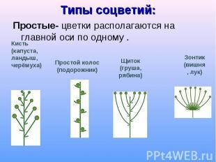 Простые- цветки располагаются на главной оси по одному . Простые- цветки распола
