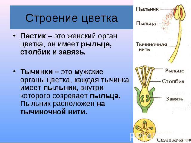 Пестик – это женский орган цветка, он имеет рыльце, столбик и завязь. Пестик – это женский орган цветка, он имеет рыльце, столбик и завязь. Тычинки – это мужские органы цветка, каждая тычинка имеет пыльник, внутри которого созревает пыльца. Пыльник …