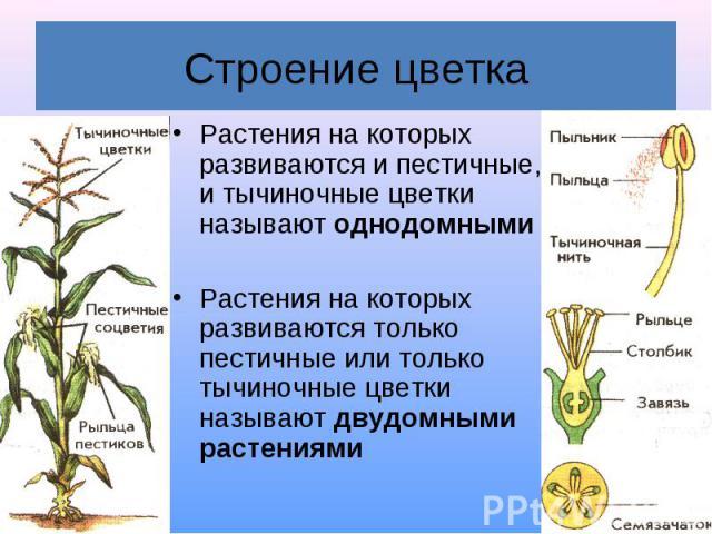 Растения на которых развиваются и пестичные, и тычиночные цветки называют однодомными Растения на которых развиваются и пестичные, и тычиночные цветки называют однодомными Растения на которых развиваются только пестичные или только тычиночные цветки…