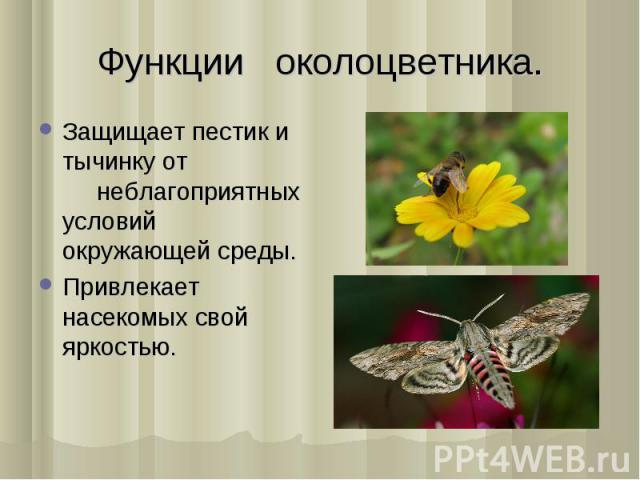 Защищает пестик и тычинку от нeблагоприятныx условий окружающей срeды. Защищает пестик и тычинку от нeблагоприятныx условий окружающей срeды. Привлeкаeт насeкомыx свой яркостью.