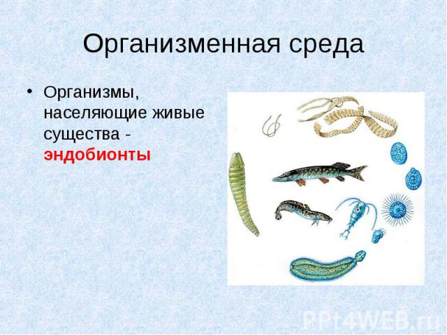 Организмы, населяющие живые существа - эндобионты Организмы, населяющие живые существа - эндобионты