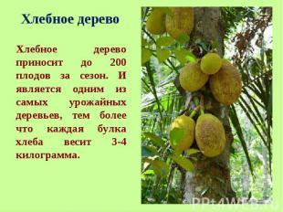 Хлебное дерево приносит до 200 плодов за сезон. И является одним из самых урожай