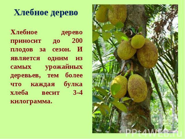 Хлебное дерево приносит до 200 плодов за сезон. И является одним из самых урожайных деревьев, тем более что каждая булка хлеба весит 3-4 килограмма. Хлебное дерево приносит до 200 плодов за сезон. И является одним из самых урожайных деревьев, тем бо…