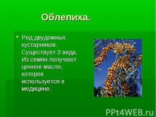 Облепиха. Род двудомных кустарников. Существует 3 вида. Из семян получают ценное