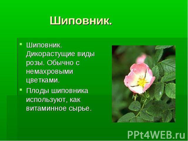 Шиповник. Шиповник. Дикорастущие виды розы. Обычно с немахровыми цветками. Плоды шиповника используют, как витаминное сырье.