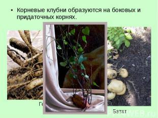 Корневые клубни образуются на боковых и придаточных корнях. Корневые клубни обра