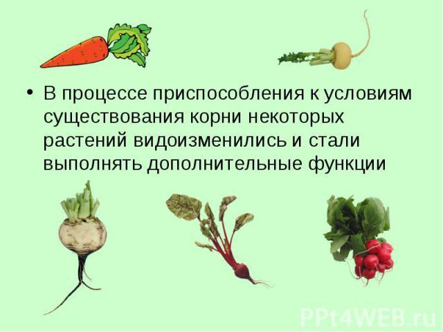 В процессе приспособления к условиям существования корни некоторых растений видоизменились и стали выполнять дополнительные функции В процессе приспособления к условиям существования корни некоторых растений видоизменились и стали выполнять дополнит…