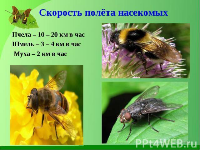 Пчела – 10 – 20 км в час Пчела – 10 – 20 км в час Шмель – 3 – 4 км в час Муха – 2 км в час