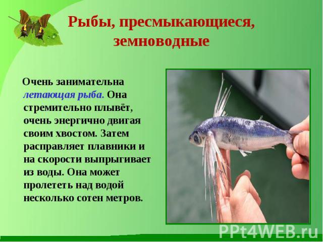 Очень занимательна летающая рыба. Она стремительно плывёт, очень энергично двигая своим хвостом. Затем расправляет плавники и на скорости выпрыгивает из воды. Она может пролететь над водой несколько сотен метров. Очень занимательна летающая рыба. Он…