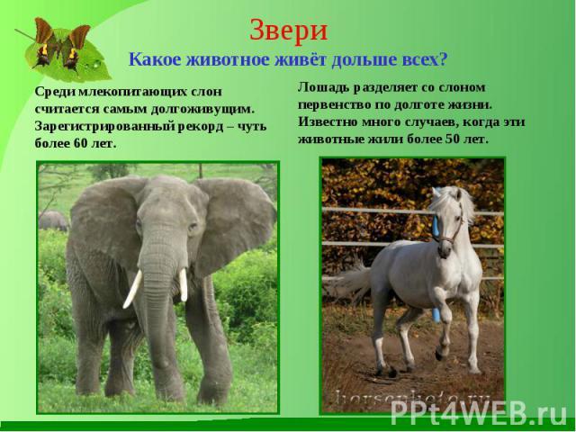 Среди млекопитающих слон считается самым долгоживущим. Зарегистрированный рекорд – чуть более 60 лет. Среди млекопитающих слон считается самым долгоживущим. Зарегистрированный рекорд – чуть более 60 лет.