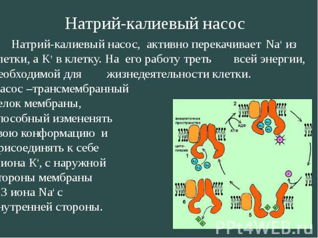 Натрий-калиевый насос, активно перекачивает Na+ из клетки, а K+ в клетку. На его работу треть всей энергии, необходимой для жизнедеятельности клетки. Натрий-калиевый насос, активно перекачивает Na+ из клетки, а K+ в клетку. На его работу треть всей …