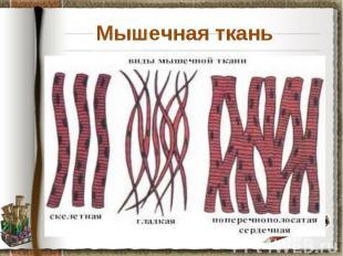 Мышечная ткань Задание: используя материал учебника на странице 30, установите о