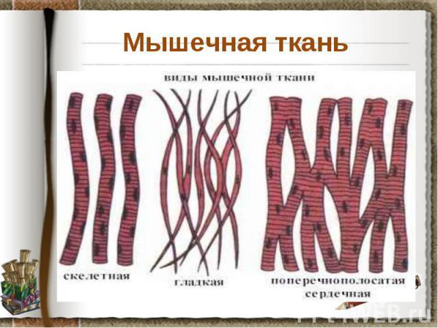 Мышечная ткань Задание: используя материал учебника на странице 30, установите особенности строения, функции и деление на типы мышечной ткани. Данные занесите в таблицу.
