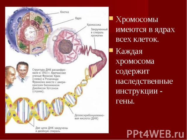 Хромосомы имеются в ядрах всех клеток. Хромосомы имеются в ядрах всех клеток. Каждая хромосома содержит наследственные инструкции - гены.