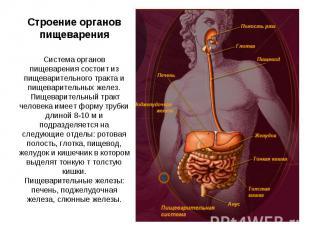 Строение органов пищеварения Система органов пищеварения состоит из пищеваритель