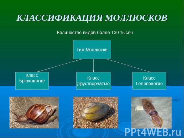 КЛАССИФИКАЦИЯ МОЛЛЮСКОВ