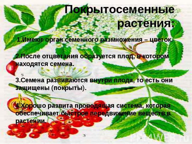 Покрытосеменные растения: 1.Имеют орган семенного размножения – цветок.