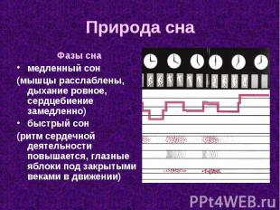 Фазы сна Фазы сна медленный сон (мышцы расслаблены, дыхание ровное, сердцебиение