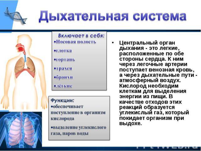 Центральный орган дыхания - это легкие, расположенные по обе стороны сердца. К ним через легочные артерии поступает венозная кровь, а через дыхательные пути - атмосферный воздух. Кислород необходим клеткам для выделения энергии из пищи. В качестве о…