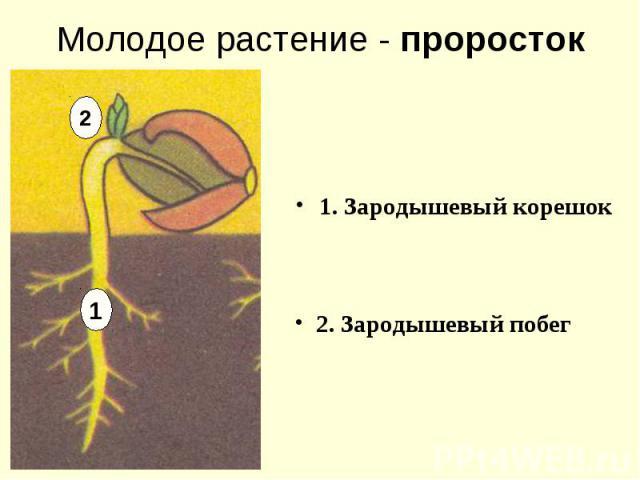 1. Зародышевый корешок 1. Зародышевый корешок