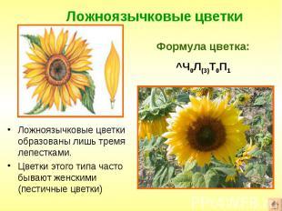 Ложноязычковые цветки образованы лишь тремя лепестками. Ложноязычковые цветки об
