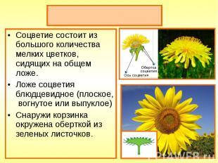 Соцветие состоит из большого количества мелких цветков, сидящих на общем ложе. С