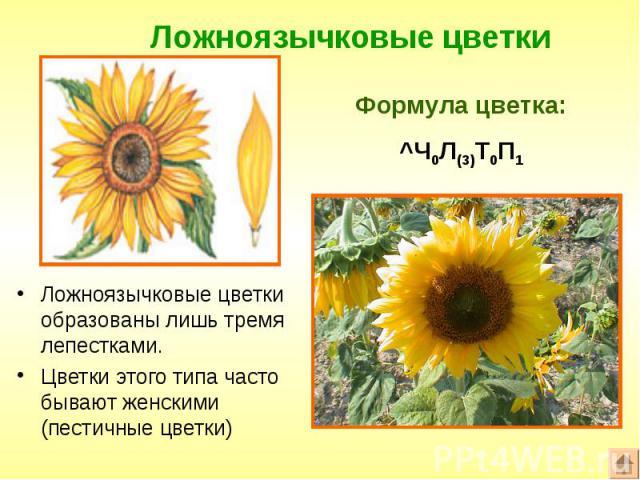Ложноязычковые цветки образованы лишь тремя лепестками. Ложноязычковые цветки образованы лишь тремя лепестками. Цветки этого типа часто бывают женскими (пестичные цветки)