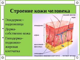 Строение кожи человека Эпидермис– надкожница Дерма- собственно кожа Гиподерма– п