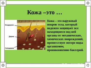 Кожа –это … Кожа – это наружный покров тела, который надежно защищает все находя