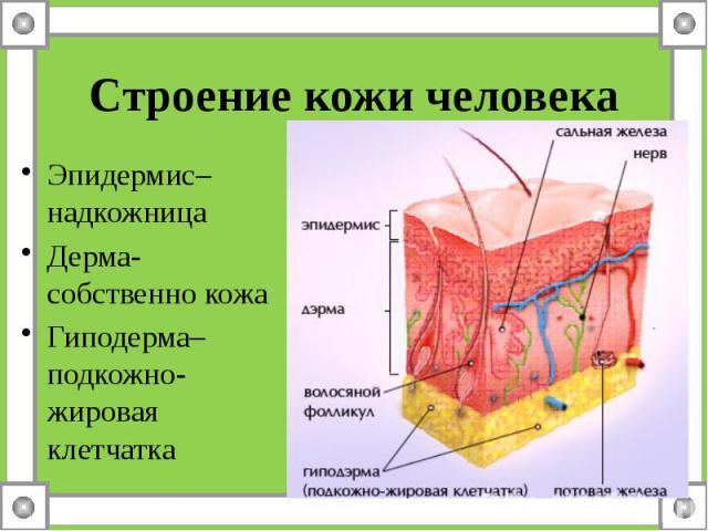 Строение кожи человека Эпидермис– надкожница Дерма- собственно кожа Гиподерма– подкожно-жировая клетчатка