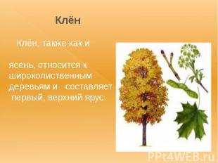 Клён Клён, также как и ясень, относится к широколиственным деревьям и составляет