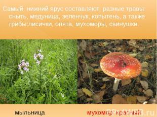 Самый нижний ярус составляют разные травы: сныть, медуница, зеленчук, копытень,