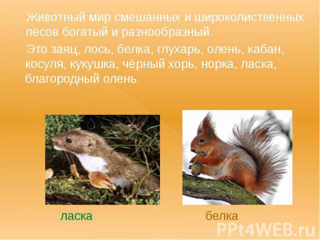 Животный мир смешанных и широколиственных лесов богатый и разнообразный. Животный мир смешанных и широколиственных лесов богатый и разнообразный. Это заяц, лось, белка, глухарь, олень, кабан, косуля, кукушка, чёрный хорь, норка, ласка, благородный о…