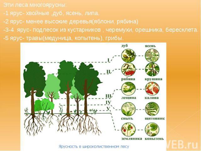 Эти леса многоярусны: Эти леса многоярусны: -1 ярус- хвойные ,дуб, ясень, липа. -2 ярус- менее высокие деревья(яблони, рябина) -3-4 ярус- подлесок из кустарников , черемухи, орешника, бересклета. -5 ярус- травы(медуница, копытень), грибы.