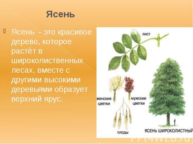Ясень Ясень - это красивое дерево, которое растёт в широколиственных лесах, вместе с другими высокими деревьями образует верхний ярус.