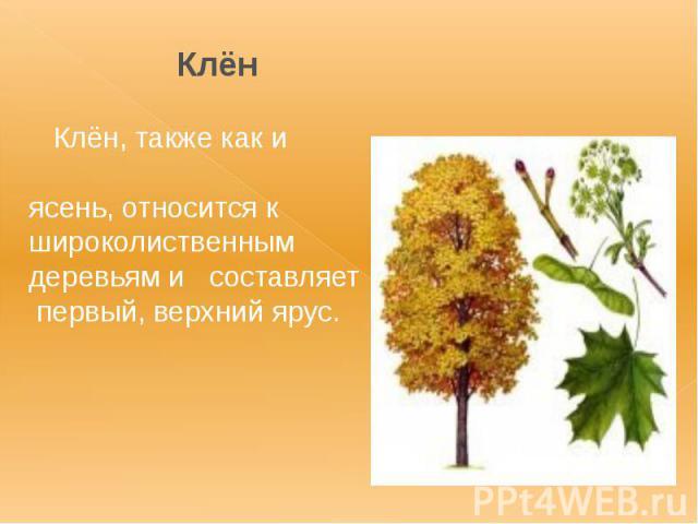 Клён Клён, также как и ясень, относится к широколиственным деревьям и составляет первый, верхний ярус.