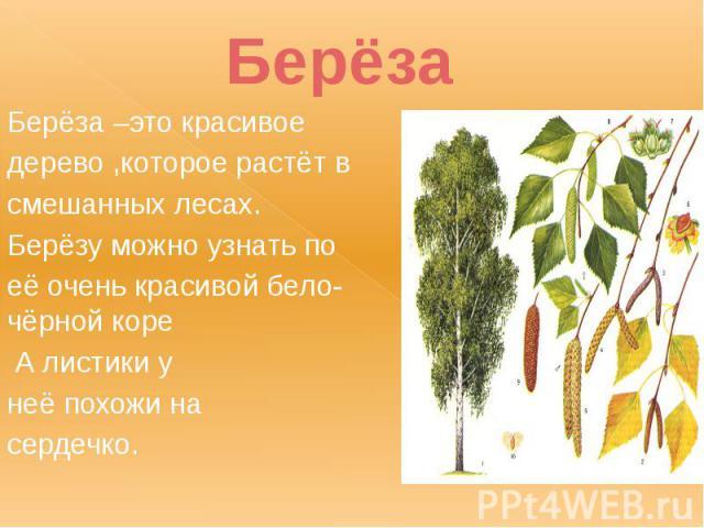 Берёза Берёза –это красивое дерево ,которое растёт в смешанных лесах. Берёзу можно узнать по её очень красивой бело-чёрной коре А листики у неё похожи на сердечко.