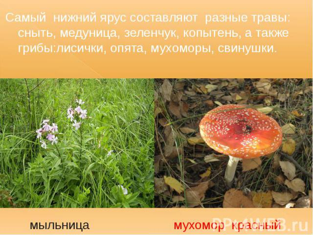 Самый нижний ярус составляют разные травы: сныть, медуница, зеленчук, копытень, а также грибы:лисички, опята, мухоморы, свинушки. Самый нижний ярус составляют разные травы: сныть, медуница, зеленчук, копытень, а также грибы:лисички, опята, мухоморы,…