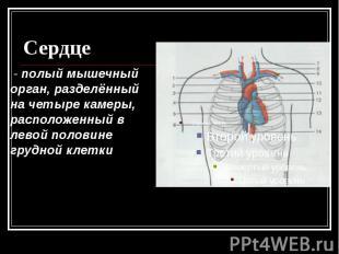 Сердце - полый мышечный орган, разделённый на четыре камеры, расположенный в лев